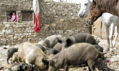 القاهرة تسمح بتربية وتجارة الخنازير بعد حظرها 9 أعوام