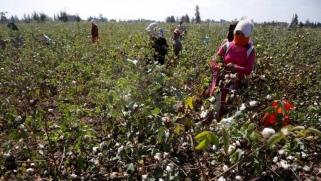 بيع المحالج.. هل تنسج مصر خيوط النهاية لزراعة القطن؟