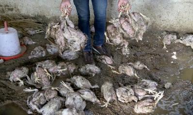 دجاج إيراني نافق يسوّق في العراق